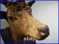 Antique Rare Real X Large 12 Point Deer Stags Head Wall Mounted Vintage